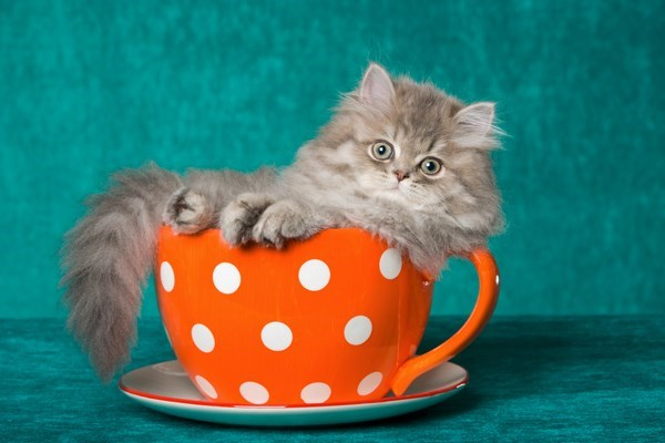 teacup cat - tiny kitten in orange polka dot tea cup