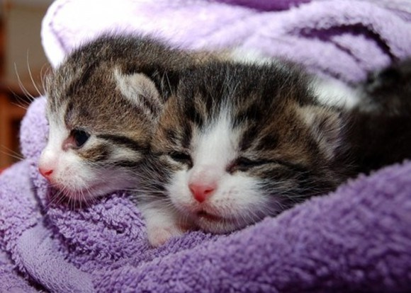 teacup cats on a towel all catted out