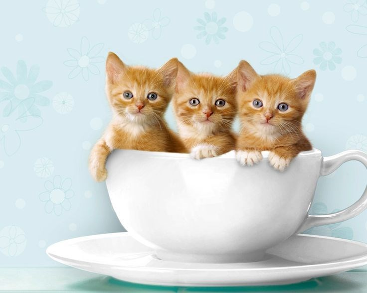 teacup cats - 3 tiny cats in a tea cup