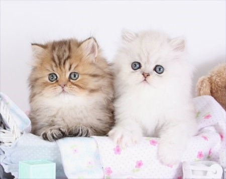 fluffy little teacup cats
