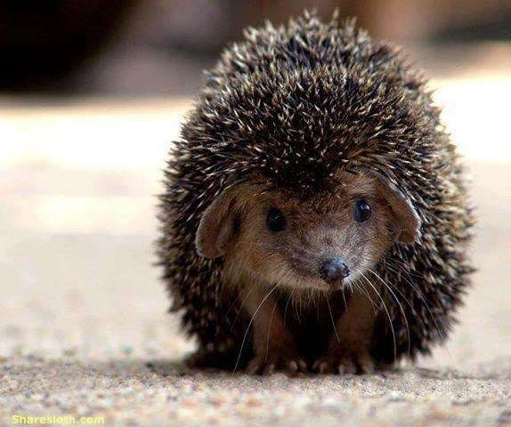 Hedgehog - Sharesloth.com