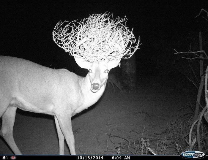 Deer - Cudde back 10/16/2014 Diviet 6:04 AM