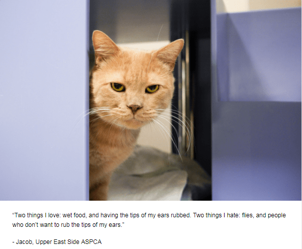 """Cat - """"Two things I love: wet food, and having the tips of my ears rubbed. Two things I hate: flies, and people who don't want to rub the tips of my ears."""" - Jacob, Upper East Side ASPCA"""
