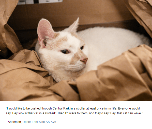 """Cat - """"I would like to be pushed through Central Park in a stroller at least once in my life. Everyone would say Hey look at that cat in a stroller!. Then l'd wave to them, and they'd say 'Hey, that cat can wave. - Anderson, Upper East Side ASPCA"""