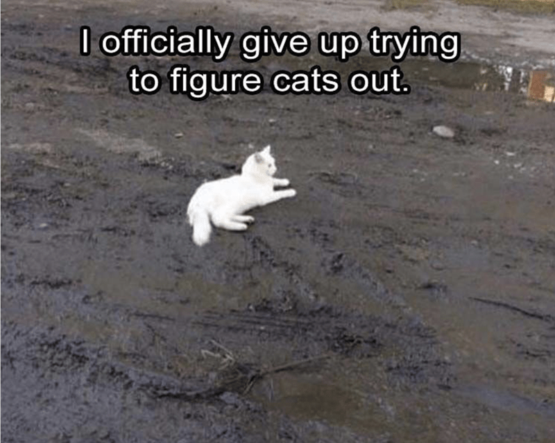 white cat lying down in wet mud, with caption declaring giving up trying to understand cats