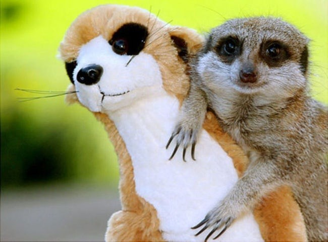 animals with toys - Meerkat