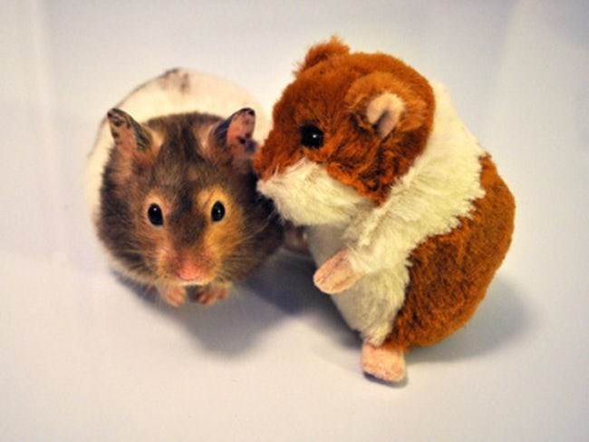 animals with toys - Hamster
