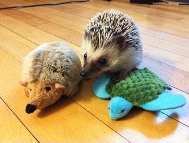 animals with toys - Erinaceidae