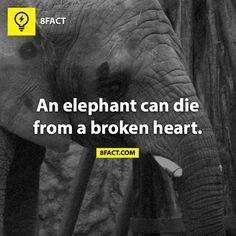 Text - 8FACT An elephant can die from a broken heart. BFACT.COM