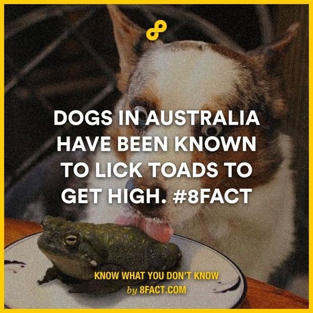 Photo caption - DOGS IN AUSTRALIA HAVE BEEN KNOWN TO LICK TOADS TO GET HIGH. #8FACT KNOW WHAT YOU DON'T KNOW by 8FACT.COM
