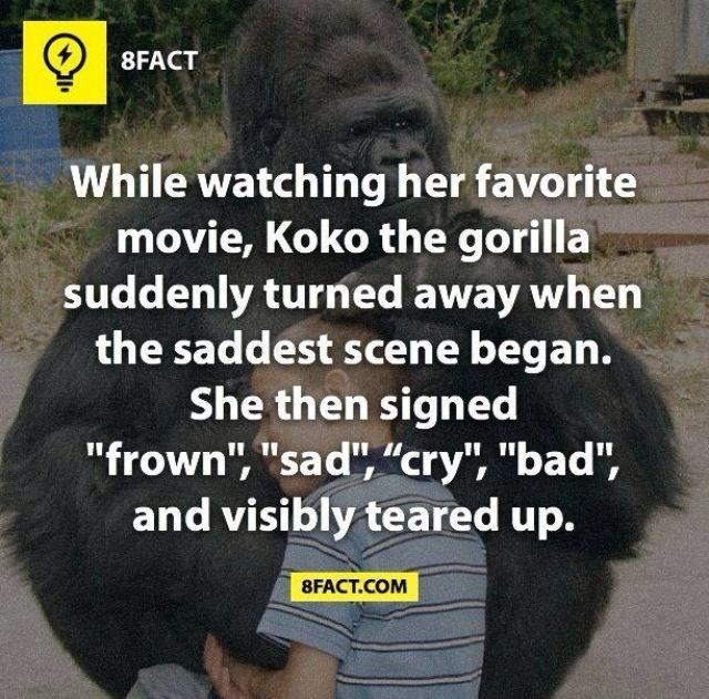 "Photo caption - 8FACT While watching her favorite movie, Koko the gorilla suddenly turned away when the saddest scene began. She then signed ""frown"", ""sad"", ""cry"", ""bad"", and visibly teared up. 8FACT.COM"