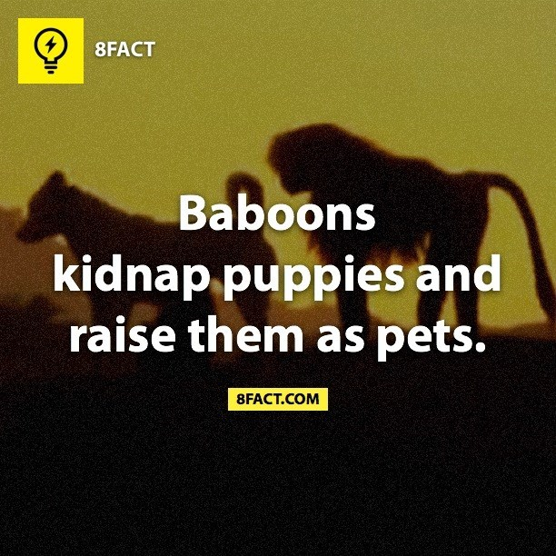 Text - 8FACT Baboons kidnap puppies and raise them as pets. 8FACT.COM
