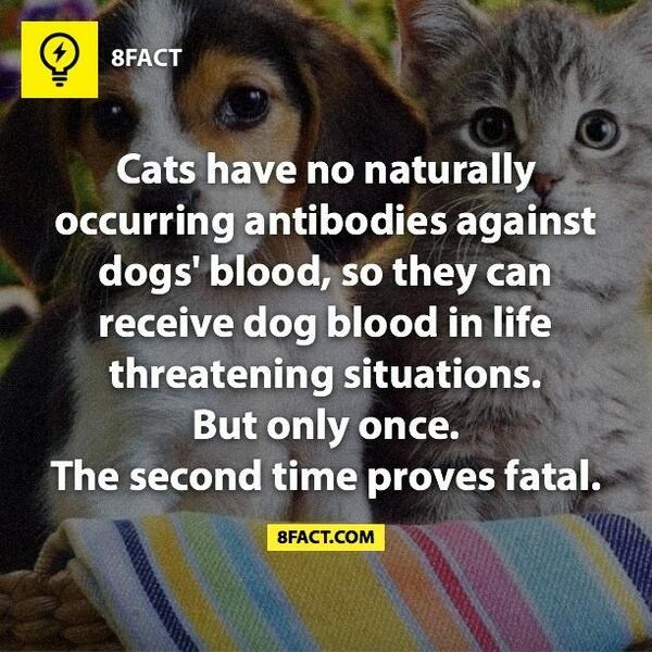 Photo caption - 8FACT Cats have no naturally occurring antibodies against dogs' blood, so receive dog blood in life threatening situations. But only once. The second time proves fatal. they can 8FACT.COM