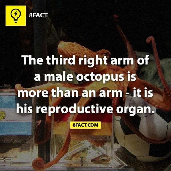 Photo caption - 8FACT The third right arm of a male octopus is more than an arm - it is his reproductive organ. 8FACT.COM