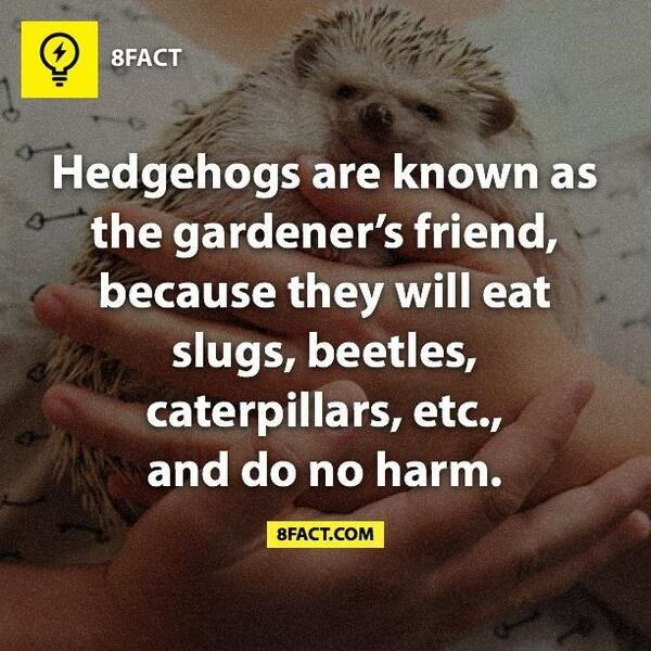 Hedgehog - 8FACT Hedgehogs are known as the gardener's friend, because they will eat slugs, beetles, caterpillars, etc., 4 and do no harm. 8FACT.COM