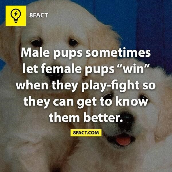 """Dog - 8FACT Male pups sometimes let female pups """"win"""" when they play-fight so they can get to know them better. 8FACT.COM"""