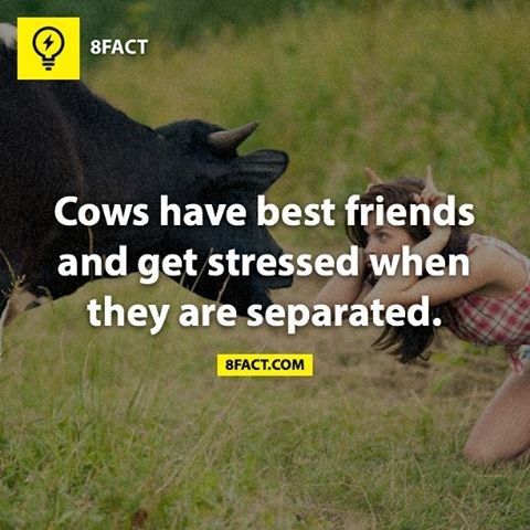 Grass - 8FACT Cows have best friends and get stressed when they are separated. 8FACT.COM