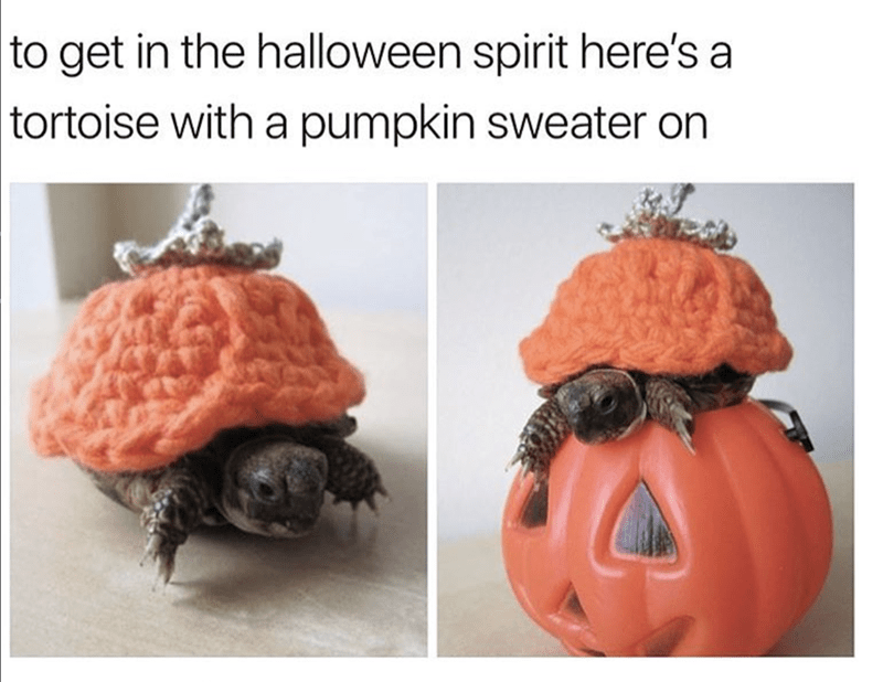 Pumpkin - to get in the halloween spirit here's a tortoise with a pumpkin sweater on