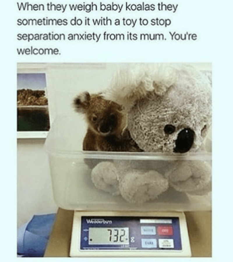 Koala - When they weigh baby koalas they sometimes do it with a toy to stop separation anxiety from its mum. You're welcome. Weserbn 732. tua