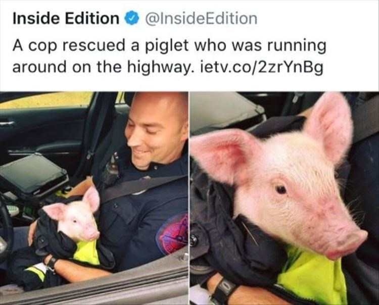 Domestic pig - @InsideEdition Inside Edition A cop rescued a piglet who was running around on the highway. ietv.co/2zrYn Bg