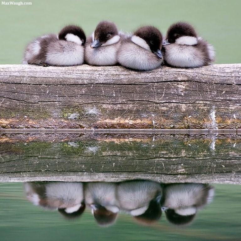 Duck - MaxWaugh.com