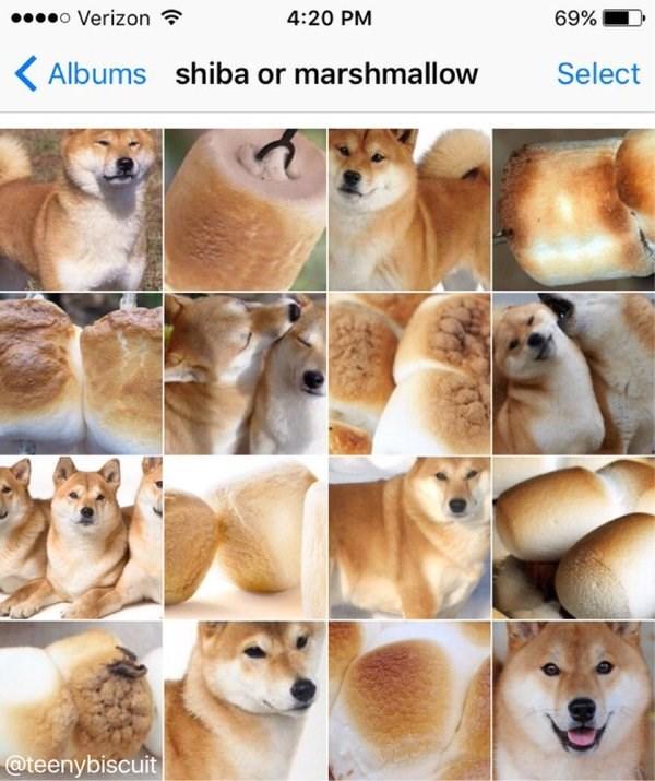 Dog - o Verizon 4:20 PM 69% shiba or marshmallow Albums Select @teenybiscuit