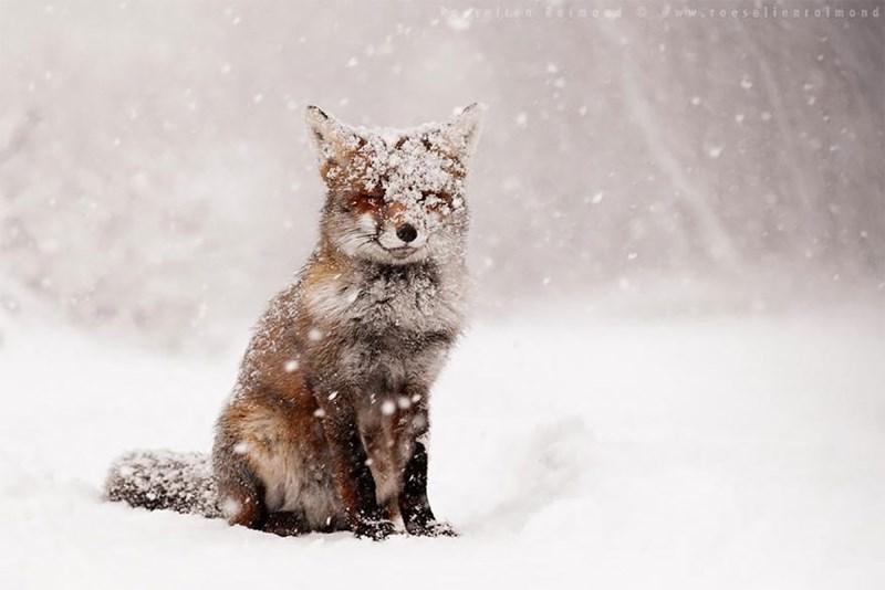 zen foxes - - Snow - nLon taimo nd www.roeselientalmond