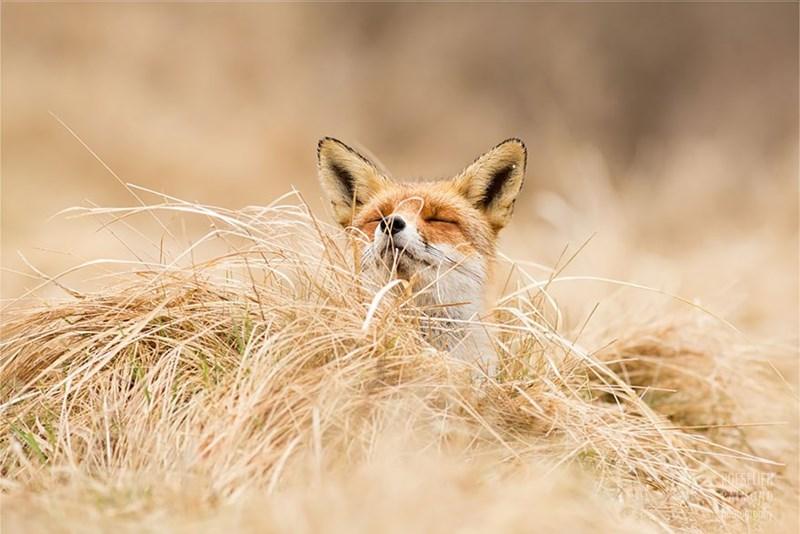 zen foxes - - Vertebrate - OESELIER