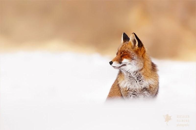 zen foxes - - Vertebrate - ROESELIEN RALMOND photography