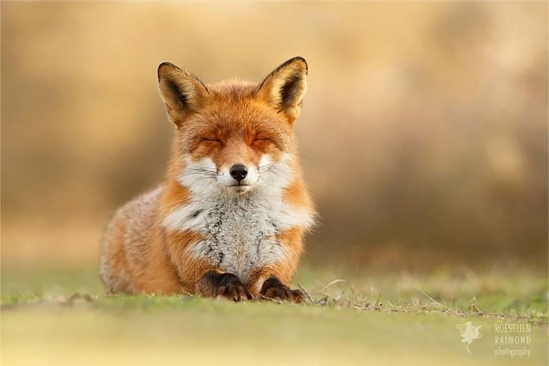 zen foxes - - Mammal - ROESELIEN RAIMOND photography