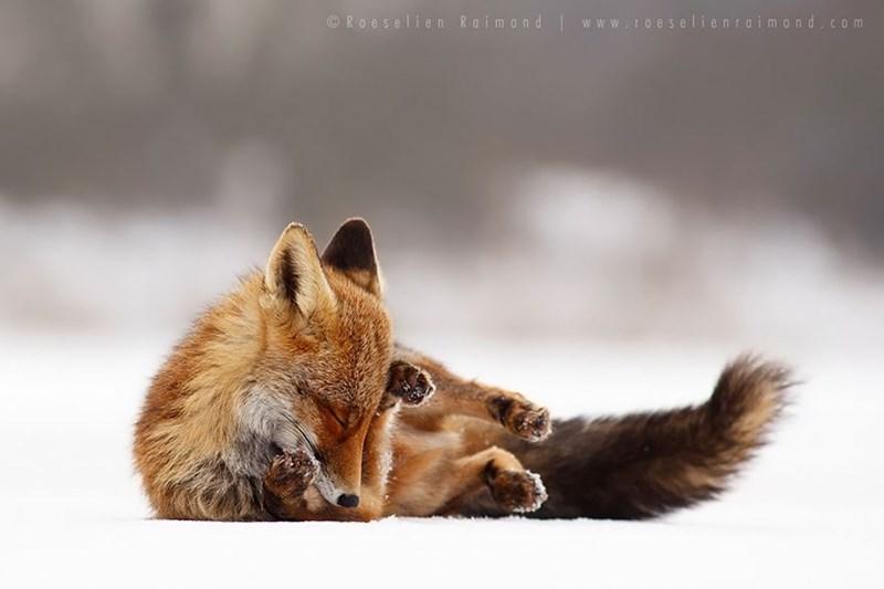 zen foxes - - Vertebrate - Roeselien Raimond www.roes elienraimond.com C