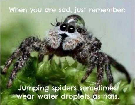 Funny meme of how jumping spiders are cute and wear water droplets as hats sometimes.