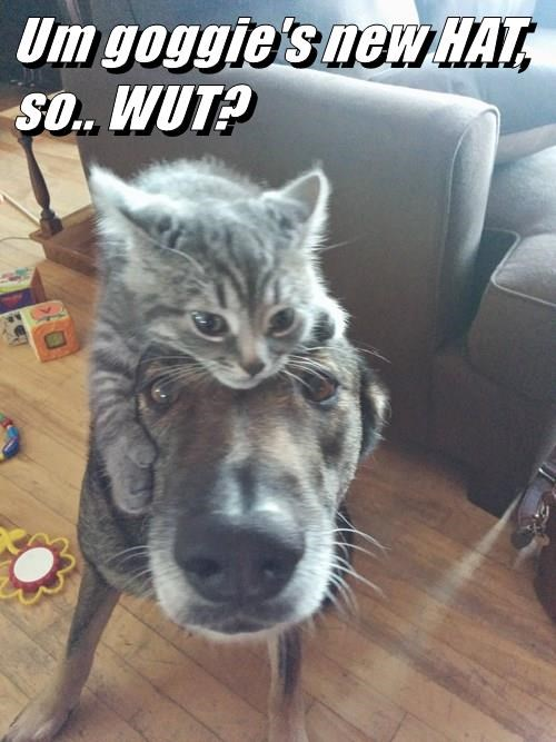 cat as a hat for a dogs head LOL