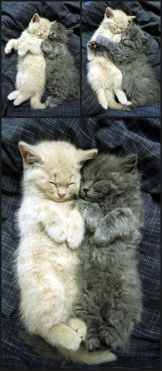 cats cuddling - grey and white kittens snuggle up