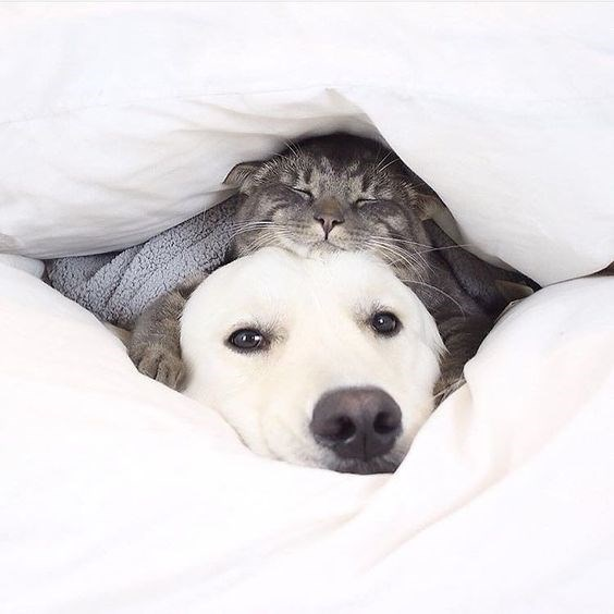 cat cuddling with white dog under fluffy pillows and blanket