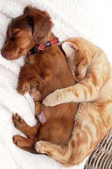 cat cuddling with dog