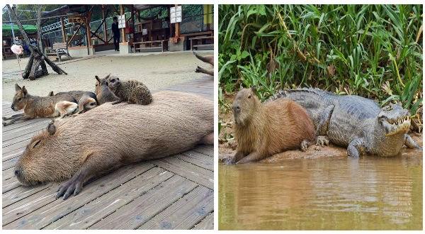 capybaras photos, friendly capybaras