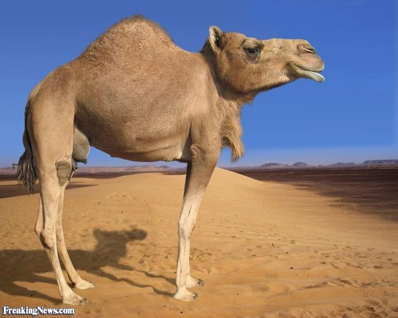 Camel - FreakingNews.com