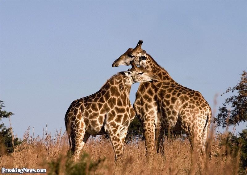 Giraffe - Freaking News.com