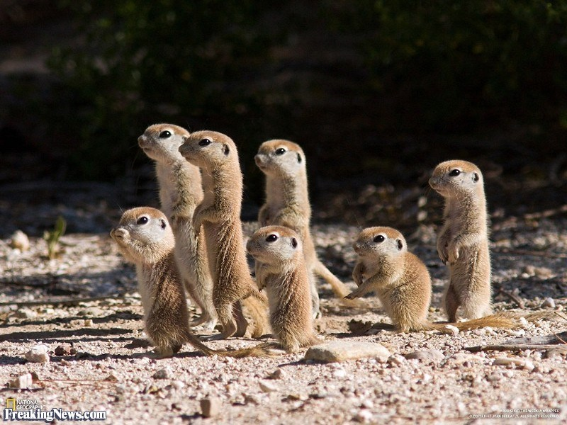 Meerkat - INATIONA GEOCRAPHIO Freaking News.com weDR SHOTTHI WEEKNEATEE RAN CEELAY AUARKSESERD aco