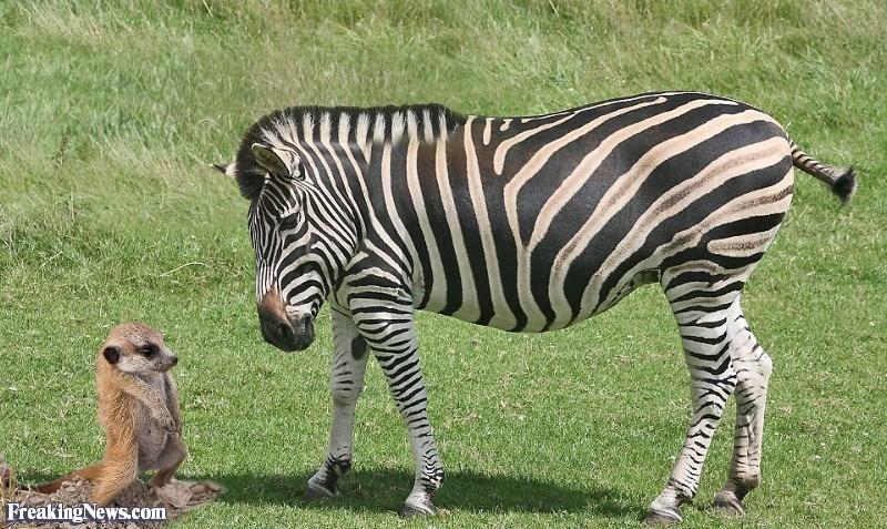 Zebra - Freaking News.com