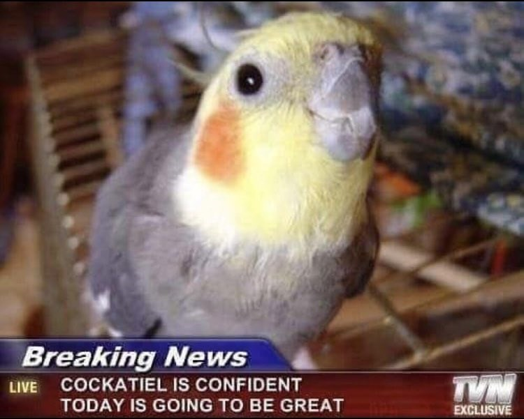 News of a Cockatiel that is confident today is going to be great