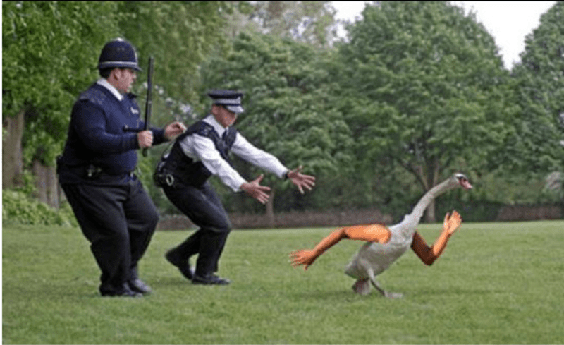 birds with arms - Sports - police chasing a goose with muscular runner arms