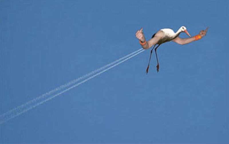 bird with arms - Greater flamingo