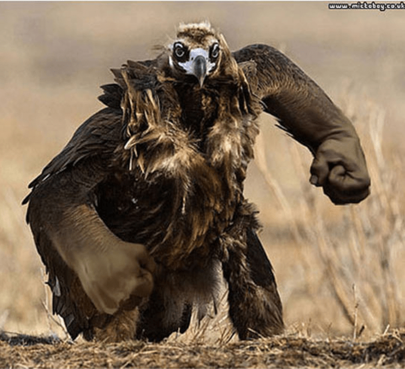bird with arms - Bird of prey - www.mictabay.co.ck