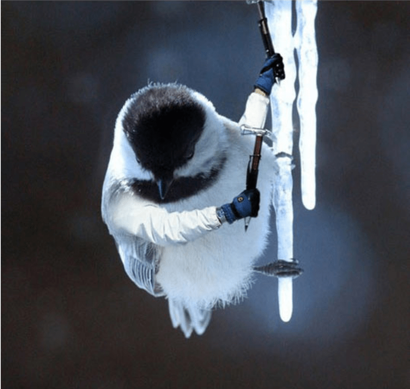 bird with arms - Black capped Chickadee