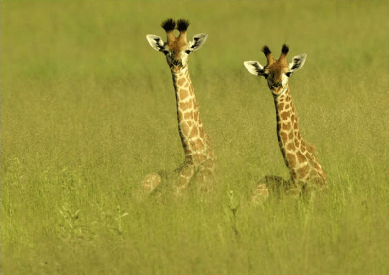 baby animals - Giraffe