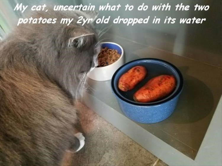 Photo caption - My cat, uncertain what to do with the two potatoes my 2yr/old dropped in its water
