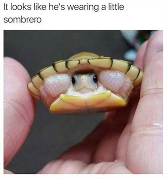 Sombrero turtle meme