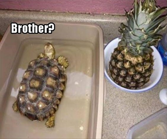 meme of turtle and pineapple similarities